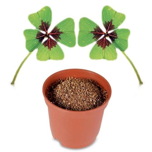 Planta Em Vaso Trevo